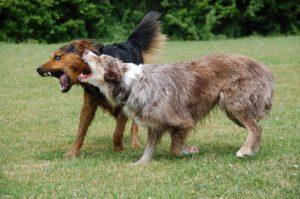 La dominanza tra cani